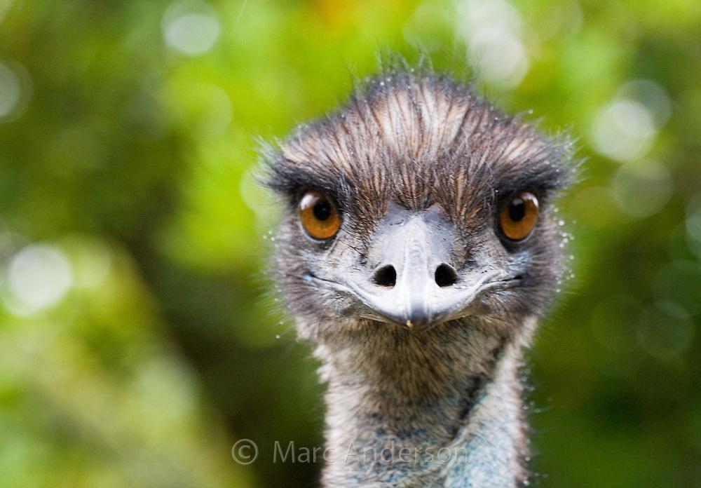 Emu (Dromaius novaehollandiae) looking at the camera, Australia