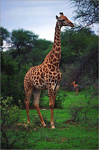 a lone giraffe near umlani bushcamp in the timbavati nature reserve. in the background is a young impala.<br /> <br /> the timbavati nature reserve is located near kruger national park in south africa.