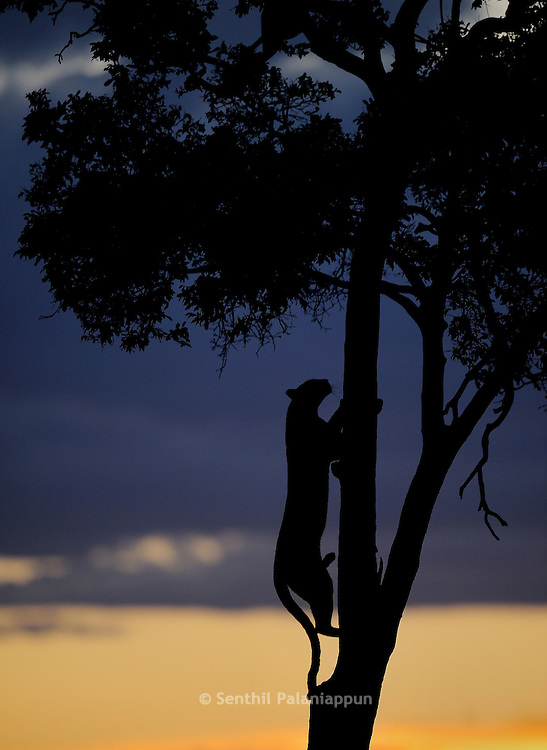 Leopard climbing tree at sunset, Masai Mara, Kenya