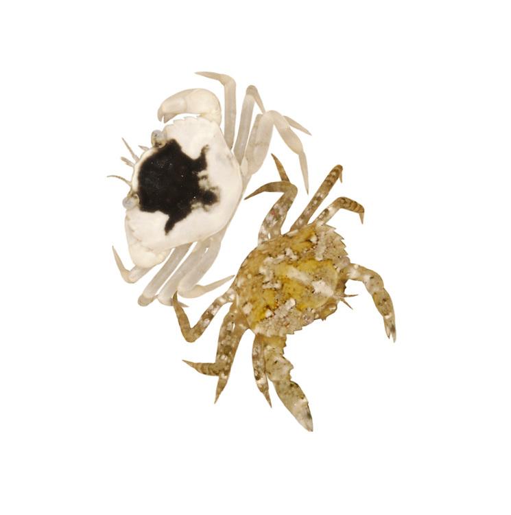 shore crab<br /> juvenile colour forms