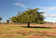 Common Yew Taxus baccata Taxaceae Height to 25m<br /> Dense-foliaged, broadly conical conifer. Bark Reddish, peeling. Branches Level or ascending. LEAVES Flat, needle-like, to 4cm long, dark glossy green with 2 pale yellowish bands below. Reproductive parts Male and female flowers on separate trees. Males comprise yellowish anthers. Females are greenish; fruits surrounded by bright-red fleshy aril. Status Native to Britain but also planted in churchyards.