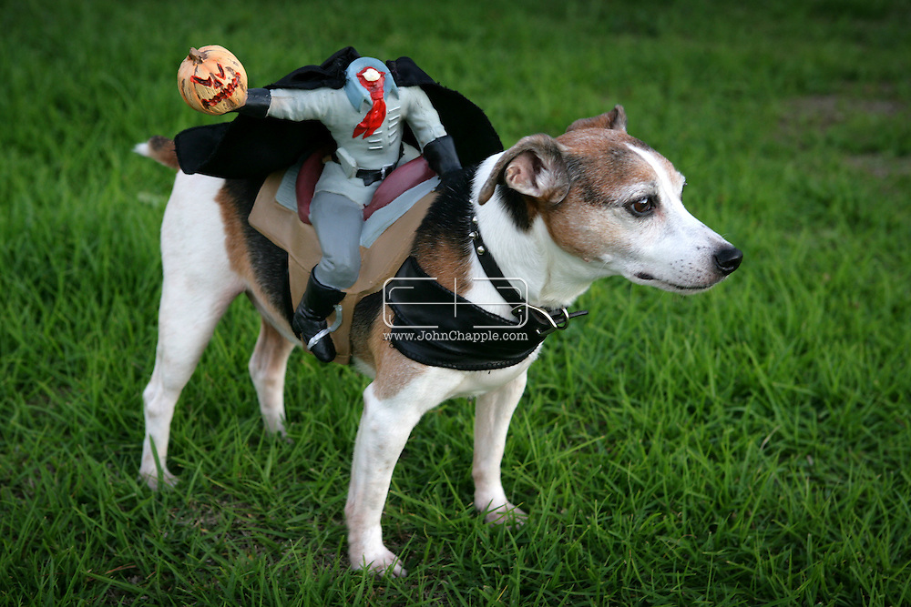 31st October 2009. Long Beach, California. The Haute Dog Howl'oween Parade in Long Beach. Pictured is Joey dressed as the headless horseman. PHOTO © JOHN CHAPPLE / www.chapple.biz.john@chapple.biz  (001) 310 570 9100.