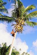 Man climbing coconut tree, Upolu, Samoa