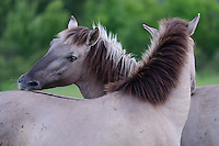 Wild living, reintroduced Konik horses, Sbor abandoned village, Eastern Rhodope mountains, Bulgaria