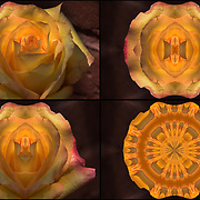 Four images showing the &quot;Rose&quot; tranformation to Abstract.<br /> <br /> Computer abstract of altered and enhancement of rose petals as digital computer art.<br /> <br /> Two or more layers were used to enhance, alter, manipulate the image, creating an abstract surrealistic mirrored symmetry. <br /> <br /> Looking down at the light and shadows on cut rose in water on outdoor restaurant table.