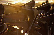USA, Vereinigte Staaten von Amerika: Braunpelikan (Pelecanus occidentalis), Gruppe im Abendlicht am Strand, Indian Shores, Florida, USA. |  USA, United States of America, Florida, Indian Shores: a group of Brown Pelicans (Pelecanus occidentalis) on the beach in evening light. |