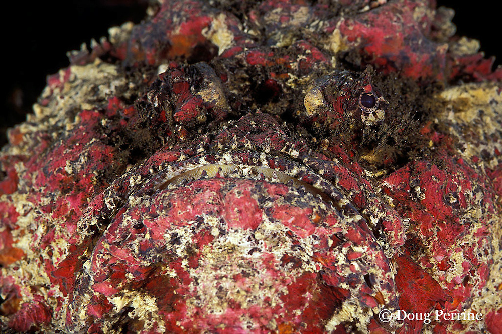 reef stonefish, Synanceia verrucosa, Bali, Indonesia