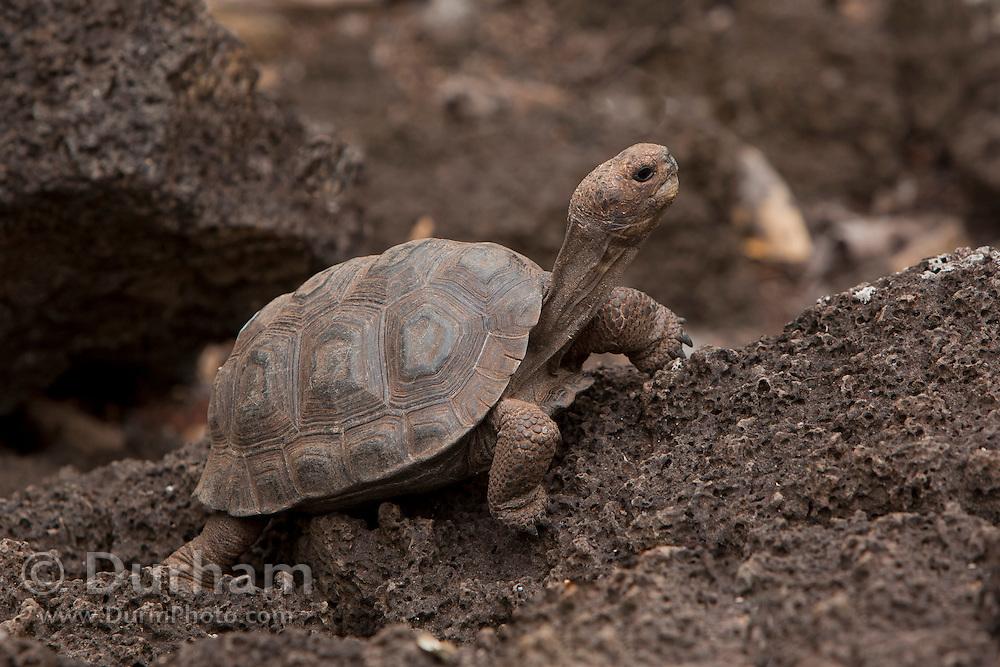A young galapagos giant tortoise (Geochelone elephantopus hoodensis), a species native to Espanola Island (and extinct in the wild) , at the Darwin Center on Santa Cruz Island, Galapagos Archipelago - Ecuador.