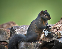 Black Squirrel. Image taken with a Nikon D5 camera and 600 mm f/4 VR telephoto lens (ISO 450, 600 mm, f/4, 1/640 sec).