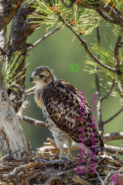 Nestling red-tailed hawk on nest in ponderosa pine tree.  Body feathers and flight feathers are nearly fully-grown. © 2011 David A. Ponton [Prints to 8x12, 16x24, 20x30 or 24x36 in. with no cropping]