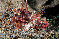Shortfin Lionfish, red variation<br /> <br /> <br /> <br /> Shot in Indonesia