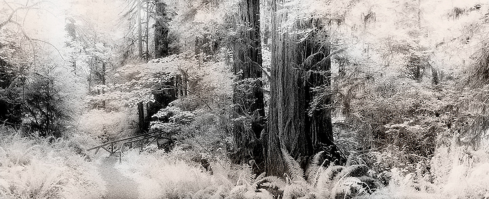 Bridge and path, through forest, Prairie Creek Redwoods State Park, Redwood National Park, California, Black & white infra-red panorama