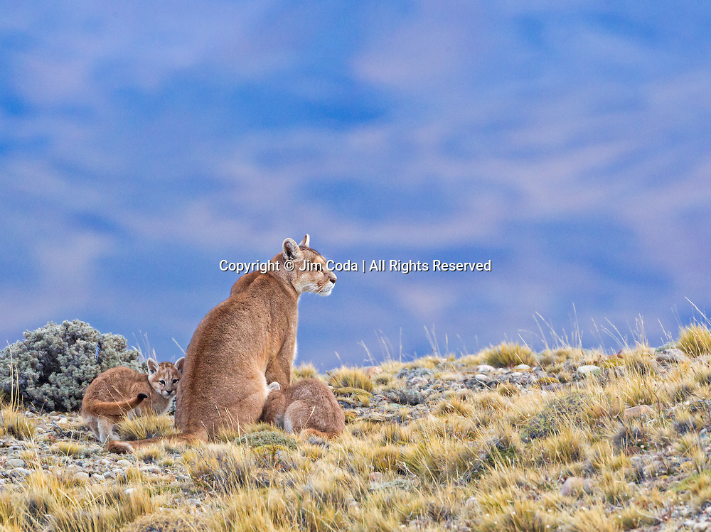 A mother puma spends some time with two of her three kittens.
