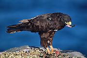 Galapagos Hawk eating Iguana<br /> Buteo galapagoensis<br /> Espanola Island, Galapagos, ECUADOR.  South America<br /> ENDEMIC TO GALAPAGOS