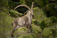 Deu, Deutschland: Steinbock (Capra ibex), im Wald zwischen Felsen, Lebensraum: Alpen, Steinwasen-Park Oberried, Baden-Württemberg | DEU, Germany: Alpine Ibex (Capra ibex), in a forest between rocks, habitat: European Alps, Steinwasen-Park, Oberried, Baden-Wuerttemberg |