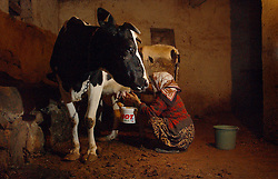 Ali Ipak 's wife Ayse milks her cow December 13, 2005 in central Turkey, Konya in Kutoren district, about 400 kilometers from Ankara.  (Ami Vitale)