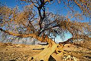 Lone tree in the Negev desert Israel