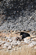 Black Bear, Animal Carcass, Yellowstone National Park, Wyoming