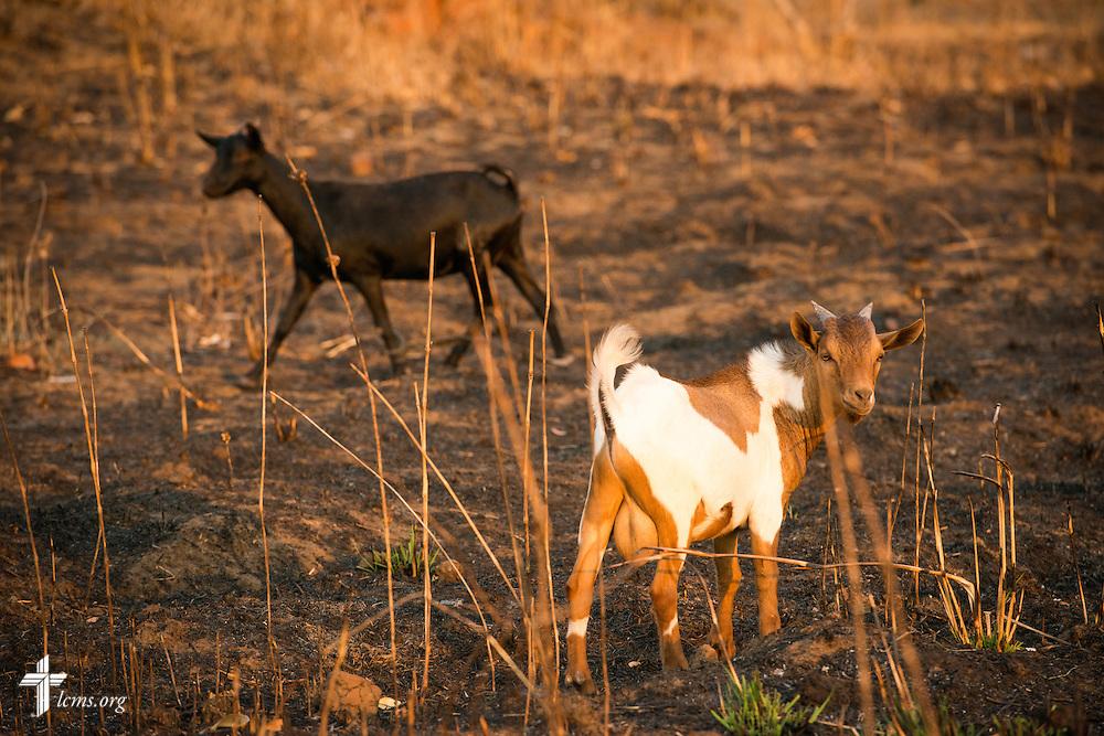 Goats graze farmland on Sunday, Sept. 27, 2015, in Chingale, Malawi. LCMS Communications/Erik M. Lunsford