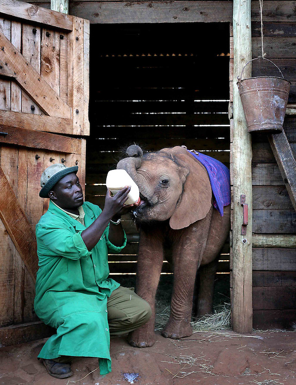 13 orphaned elephants currently live at the sanctuary. The carers stay with the orphans 24/7. Drinking one of the 20 litres of milk they down everyday
