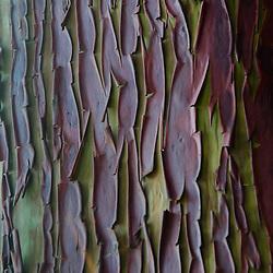 Pacific Madrone (Arbutus menziesii) Bark, Wallace Island, Gulf Islands National Park Preserve, British Columbia, Canada