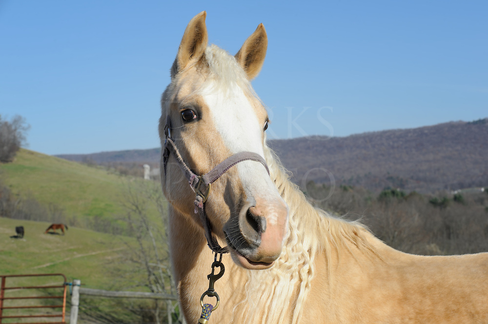 Golden Palomino horse with curly mane outdoors in sunlight wearing halter, rural farm setting with mountain background, Saddlebred Arab mix animal.