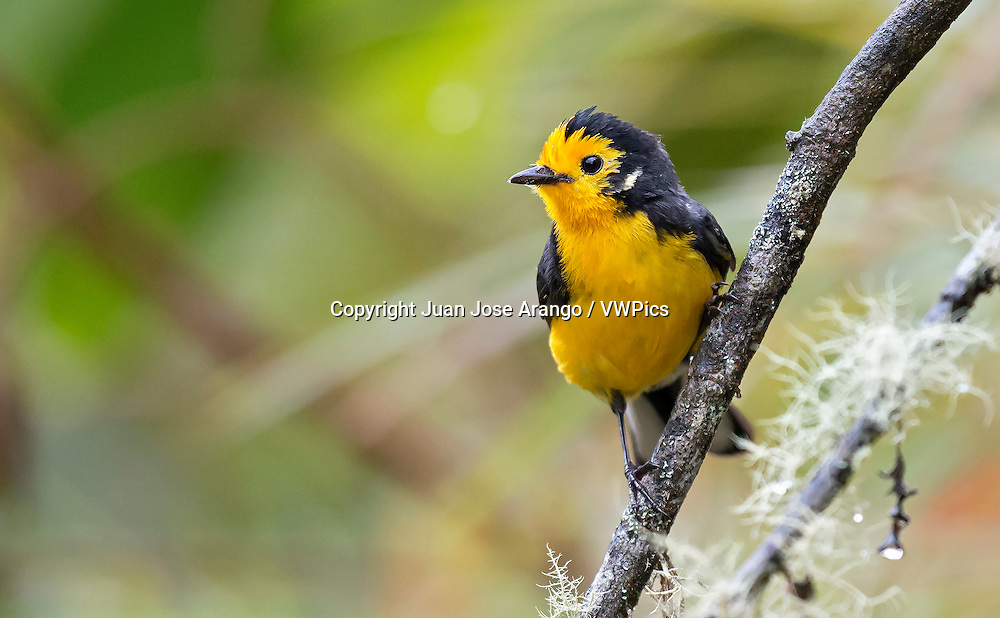 Golden-fronted Redstart (Myioborus ornatus chrysop), Jardin, Antioquia