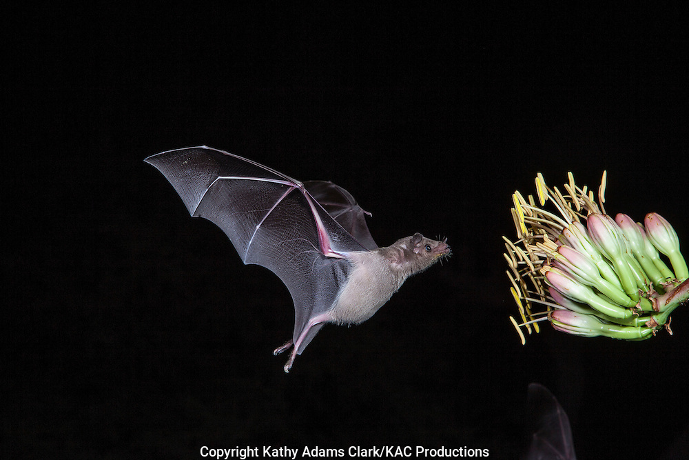 Lesser Long Nosed Bat Kac7177 Jpg Kac Productions Kathy