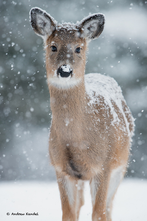 A White-tailed fawn (Odocoileus virginianus) in a Winter snowfall, Missoula, Montana