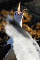 Great Black-backed gull, Larus maritimus, Flatanger, Norway. August 2008.