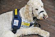 Nederland, Nijmegen, 18-7-2011Een hulphond die in staat is te waarschuwen bij epilepsie aanvallen. Het beest is een kruising tussen een labrador en een poedel...Foto: Flip Franssen