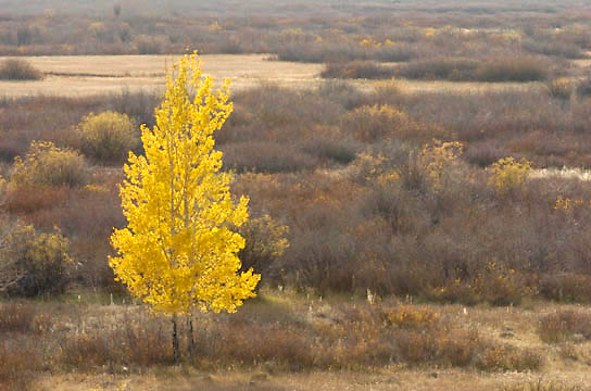 Golden Aspen tree in Yellowstone National Park.