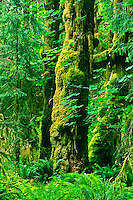 Sitka spruce (Picea sitchensis)  Moss covered Sitka Spruce in the Hoh Rain Forest.   Olympic National Park, Washington.