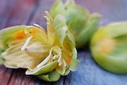 Tulip Poplar tree blossom
