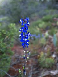 Delphinium scaposum - Tall Mountain Larkspur blooming in Sedona, AZ