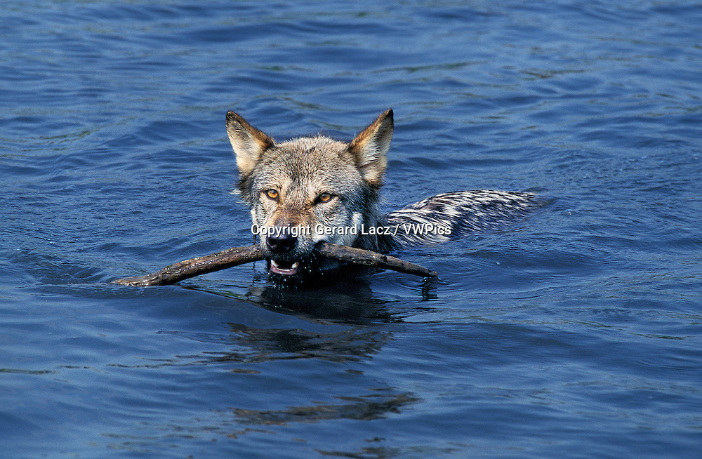European Wolf, canis lupus, Adult swimming in Water, with Piece of Wood in its Mouth