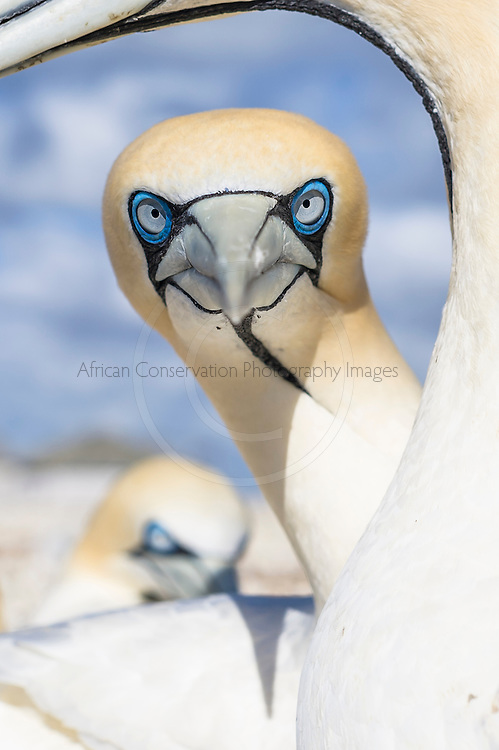 A Cape Gannet stares straight at the camera and through another gannet, Malgas Island, West Coast National Park, South Africa