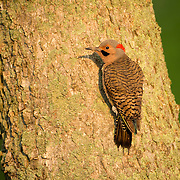 May 17, 2013 - Pleasant Hill, Kentucky, USA - A male Northern Flicker clings to the side of a tree at Shaker Village. (Credit Image: © David Stephenson/ZUMA Press)