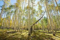 Aspen trees in Fall colors, La Sal mountains, Utah, USA.