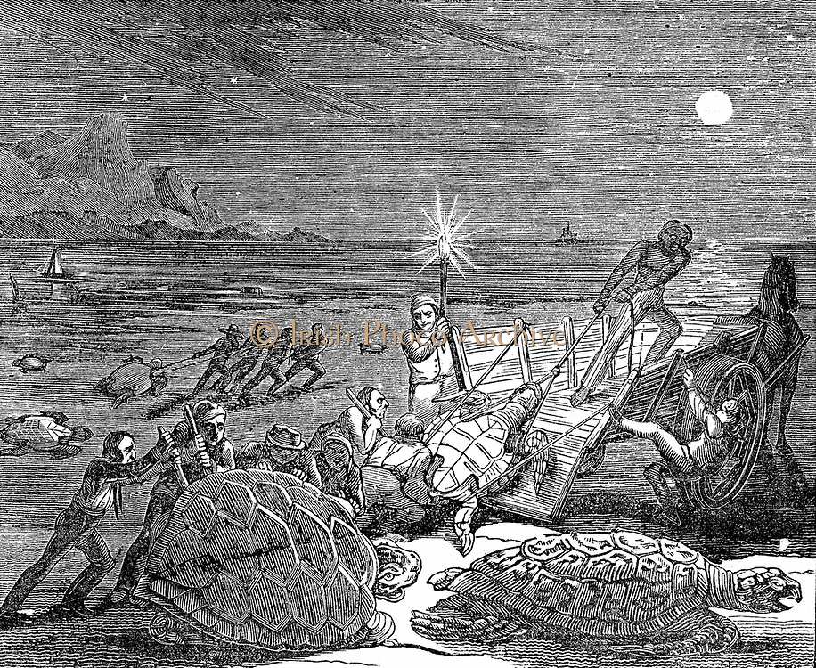 Green (Edible) turtles - Chelonia mydas - and Loggerhead turtles captured on coast of Cuba as the females came ashore to lay their eggs. Turtle meat much prized, and Edible turtles  were imported live into Europe as a table delicacy. Woodcut, London, 1832.