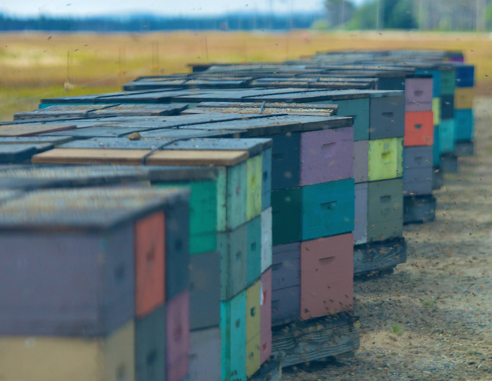 Portable beehives provide blueberry fields  with bees necessary for pollination in the spring. Cherryfield, Maine