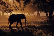 A bull elephant in the fig forests of Mana Pools. Mana in Shona means four, and this refers to the four pools which survive year round to provide water for large numbers of elephant and Cape buffalo. Mana Pools is a World Heritage Site