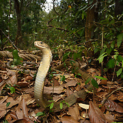 The king cobra (Ophiophagus hannah) is a species of venomous snake in the family Elapidae. The species is endemic to Asia and is the world's longest venomous snake.