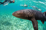 Nurse Shark (Ginglymostoma cirratum) & Renee Bish<br /> Hol Chan Marine Reserve<br /> near Ambergris Caye and Caye Caulker<br /> Belize Barrier Reef, second largest barrier reef in the world<br /> Belize<br /> Central America