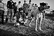 """Murat (on the left) massaging the leg of his mastiff Jack, who has some problems during a confrontation with other dogs. Countryside of Rawalpindi. Pakistan, on thursday, December 11 2008.....According to the Islamic tradition, angels do not enter a house which contains dogs. Even if they are considered """"ritually unclean"""" by the jurists, the fighting dogs of Pakistan are tolerated by institutions and by believers alike. These mastiffs are grown and trained explicitly for these matches. Spectators in this area flock-in from nearby villages whenever a famous dog is scheduled to enter the arena. And this is more than just a show: entire families base their social esteem on the results of such bloody confrontations."""