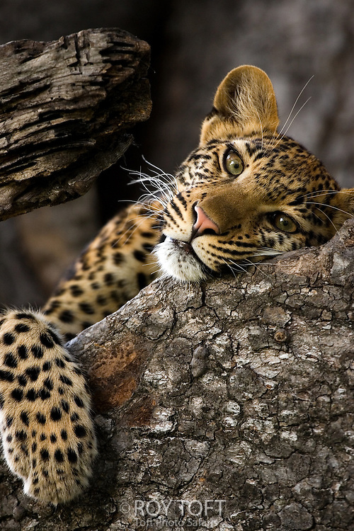 Close-up portrait of a leopard resting in a tree, Okavango Delta, Botswana.