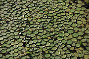 Giant Water Lily (Victoria amazonica)<br /> Savanna <br /> Rupununi<br /> GUYANA<br /> South America