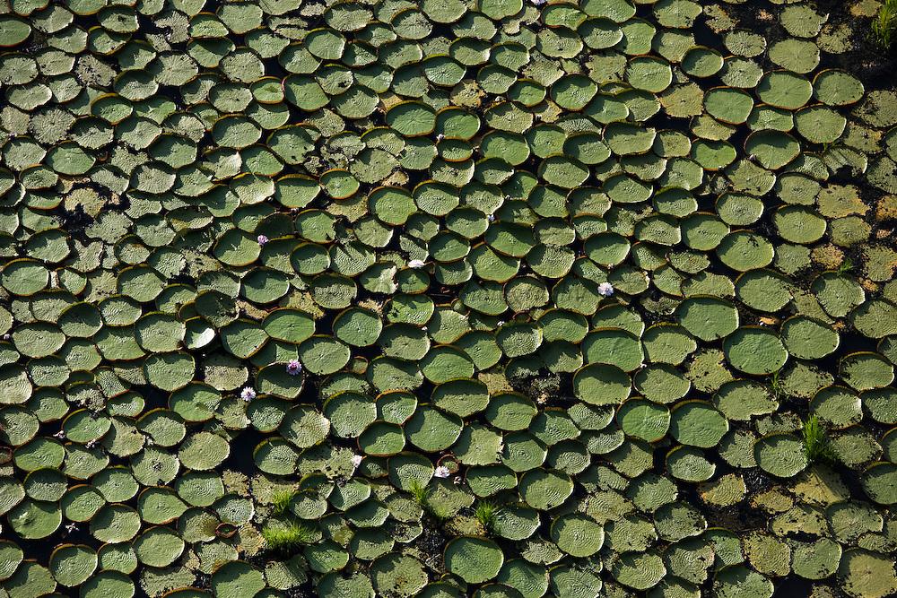 Giant Water Lily (Victoria amazonica)<br /> Savanna <br /> Rupununi<br /> GUYANA<br /> South America