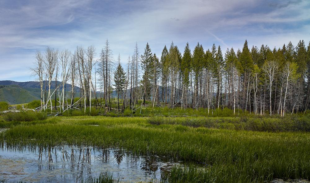Burnt/Green Trees<br /> near Sun Valley Idaho