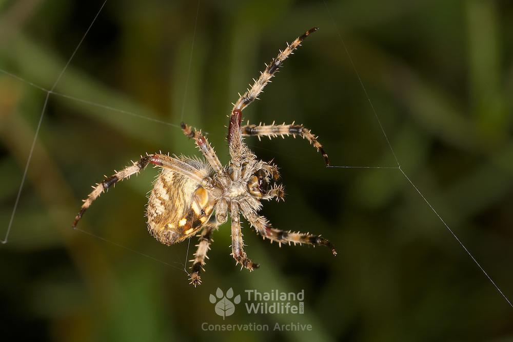 Garden Spider (Parawixia sp.)